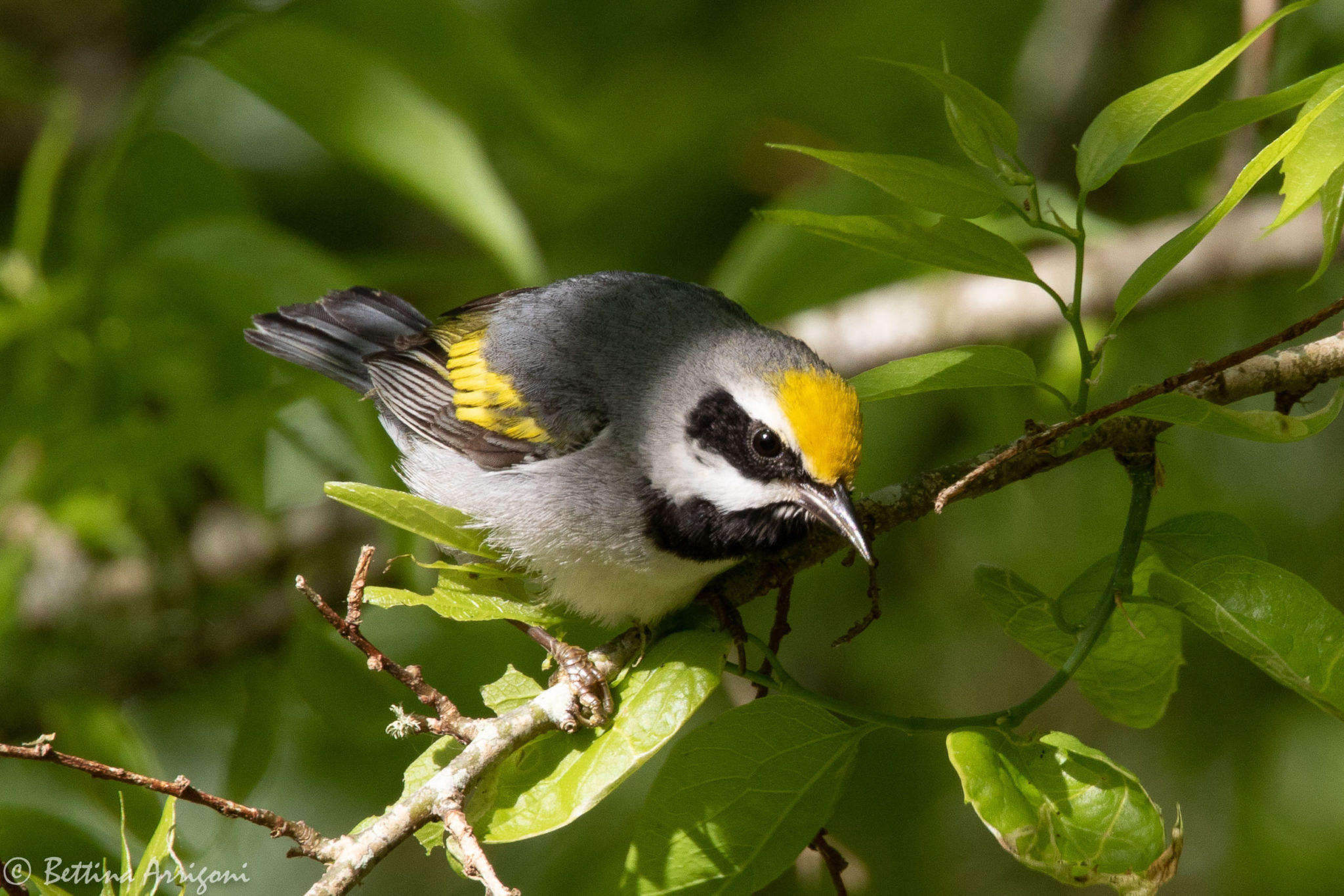 Our Green Sources: Saving Climate, Woods, And A Warbler | Cloverly